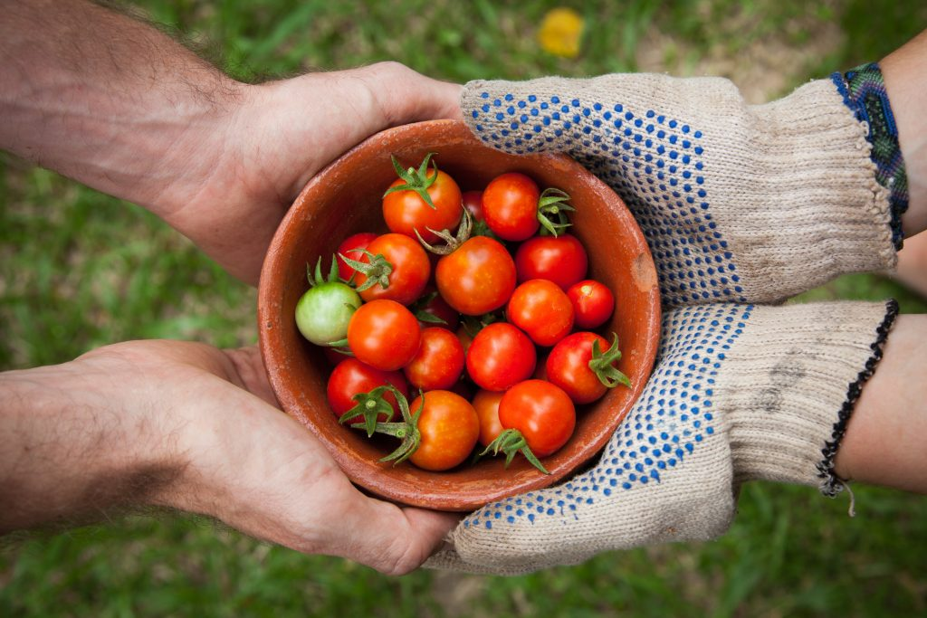 Bowl of tomatoes with hands of gardener and hands of receiver